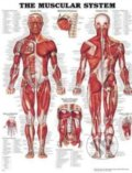 The Muscular System -