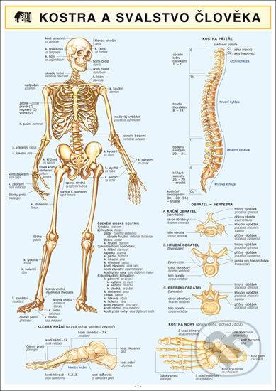 Kostra svalstvo člověka A4