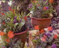 Tulips & Pansies in Pots - Clive Nichols